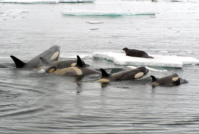 orcashunting.jpg